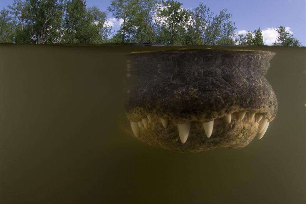 تمساح فى المحمية الوطنية بفلوريدا ـ تصوير دوغ برين