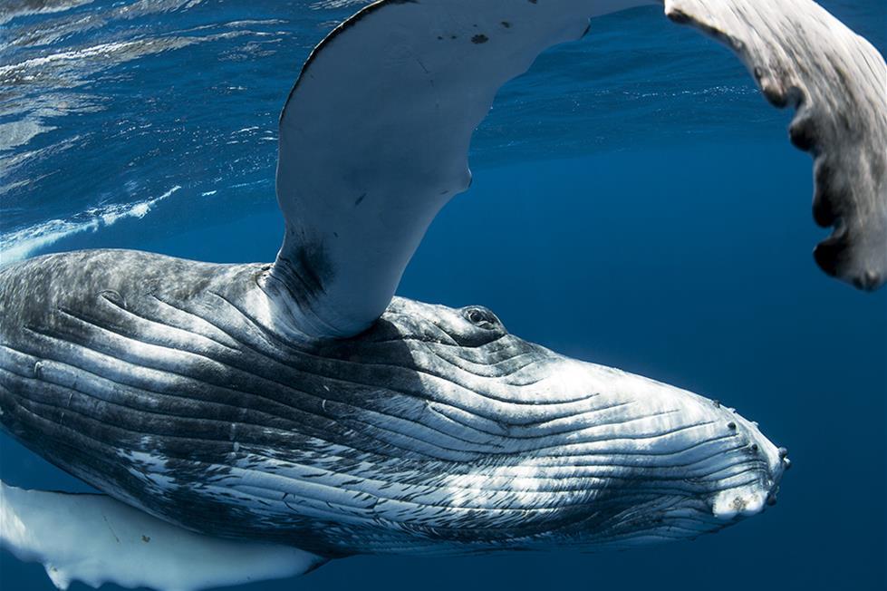 الحوت الاحدب فى تونغا ـتصوير ماثيو درابر