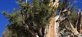 منها ما زُرع بأيدي الأنبياء، وأقدمها تبلغ من العمر 80 ألف عام، تعرف على أقدم 10 أشجار في الكوكب